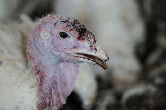 Очередное расследование на птицефабриках  Израиля: гормоны и антибиотики для птиц