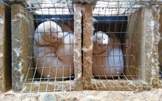 Расследование РЕТА на крупной меховой ферме в США