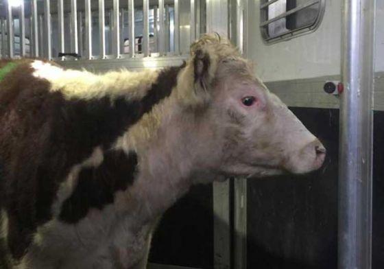 Сбежавший от мясника бык Фредди  выкуплен и отправлен в приют спасённых животных