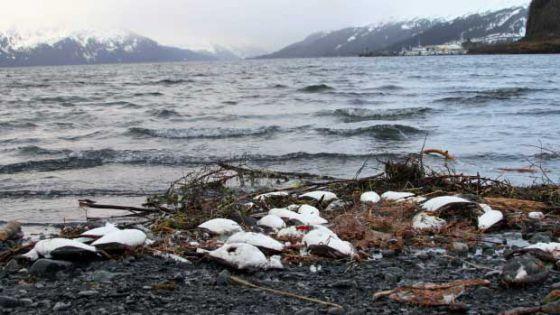 В штате Аляска были обнаружены около 8 тысяч погибших кайр