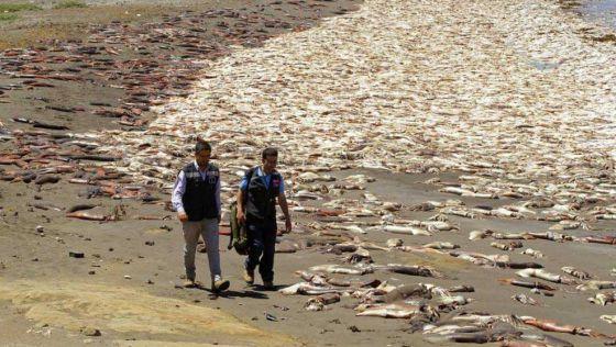 Тысячи мёртвых кальмаров вынесло на берег в Чили