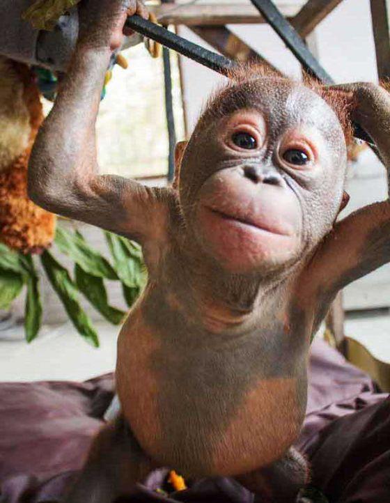 Спасённый в Борнео орангутан Гито  нашёл  друга