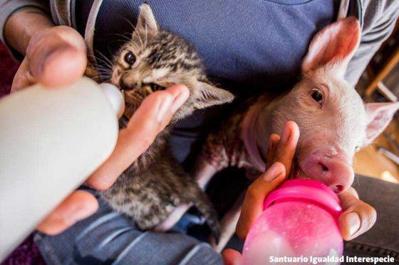 Спасённая свинка Лаура подружилась с котёнком  Мариной  в  приюте  Santuario Igualdad Interespecie