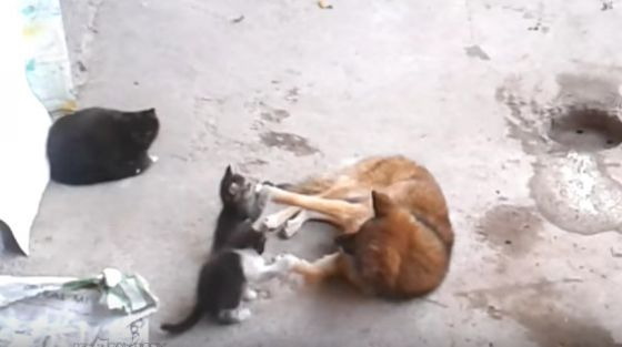 Мама-кошка  привела котят знакомиться с собакой: трогательное видео общения животных