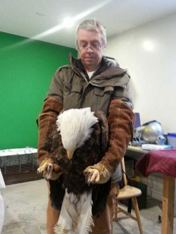 Птичья любовь: орлан  ждал подругу  из Центра реабилитации