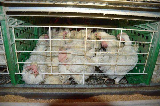 Активисты  ALF  посетили  птицеферму в Израиле: настоящая цена яиц
