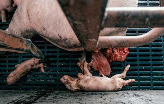 Британские активисты обнародовали шокирующие факты расследования на свинофермах