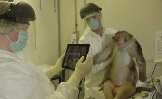 Крупнейшая лаборатория  в Европе  поэтапно откажется от экспериментов  на приматах