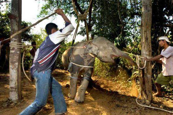 В Камбоджи от перегрузок  умерла слониха Самбо: почему не следует ездить на слонах