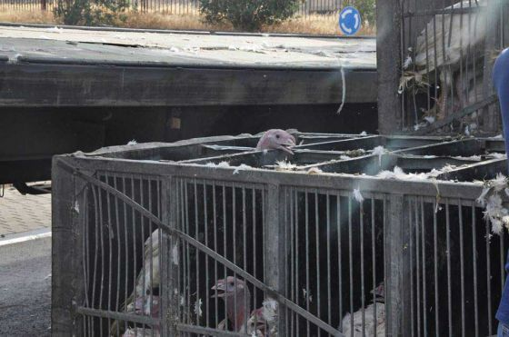 В Израиле перевернулся грузовик с птицами