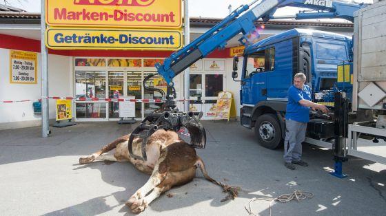 В Германии сбежавший  по дороге на бойню телёнок  был расстрелян в супермаркете: видео