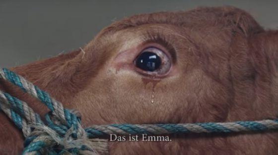 Фермер решил пощадить плачущую корову