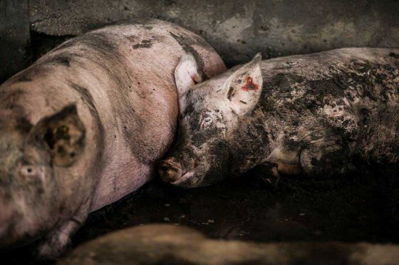 Активисты ALF Израиля  побывали на свиноферме в кибуце Лахав