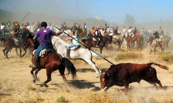 В Испании запретили убивать быков на празднике «Торо де ла Вега»