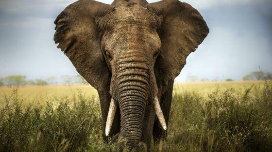 В США запретили продажу слоновой кости
