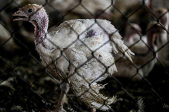 Расследование ALF Израиля на ферме по выращиванию индюшек