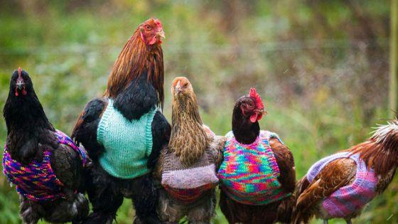 Женщины из Англии спасают кур и вяжут им свитера