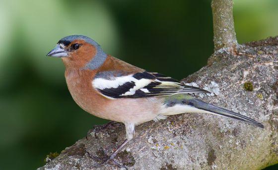 В Каталонии запретили отлавливать певчих птиц