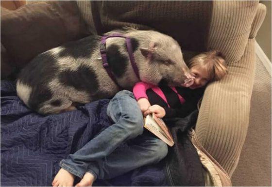 Спасённый поросёнок Коа из Огайо обрёл семью
