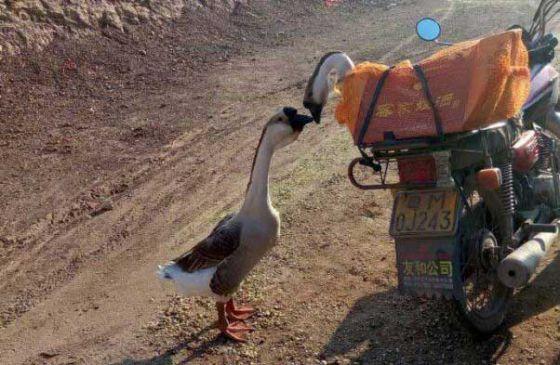 Трогательная история прощания двух гусей покорила интернет