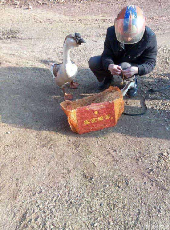 http://veganstvo.info/uploads/posts/2016-08/thumbs/1472608463_sad-geese-tied-up-602x813.jpg