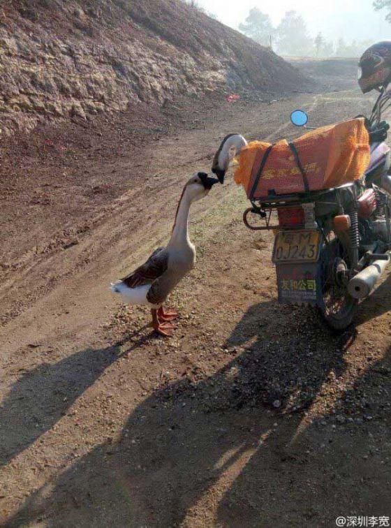 http://veganstvo.info/uploads/posts/2016-08/thumbs/1472608483_goodbye-kiss-geese-602x813.jpg