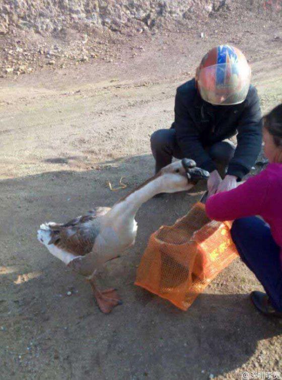 http://veganstvo.info/uploads/posts/2016-08/thumbs/1472608503_sad-goose-with-friend-602x813.jpg