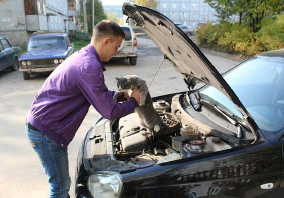 Водителям следует помнить: кошки ищут тепло в автомобилях
