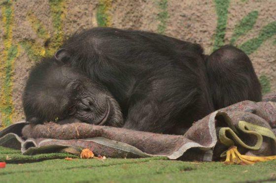 В Аргентине  признали права шимпанзе Сесилии