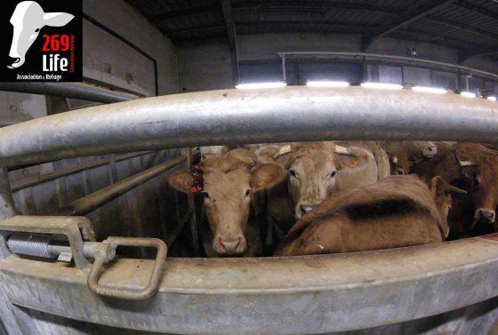 269Life  во  Франции  заблокировали  скотобойню:  репортаж  из  ада