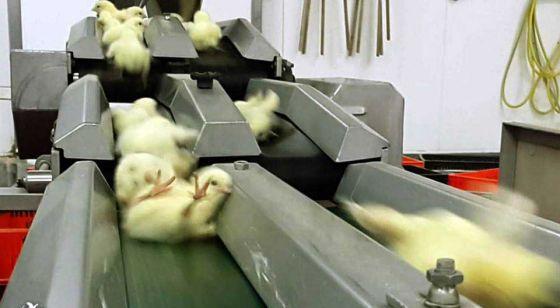 8 ужасных фермерских практик: секреты животноводства
