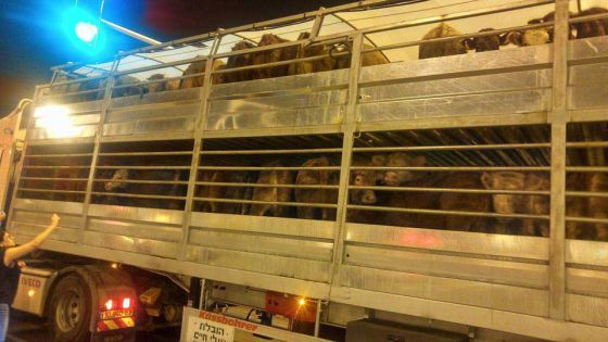 """Ковчег смерти со """"свежим мясом"""" из Португалии:  шокирующий репортаж  из  Израиля"""
