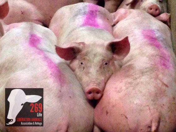 Активисты  269Life  вторглись на третью скотобойню Tradival во Франции