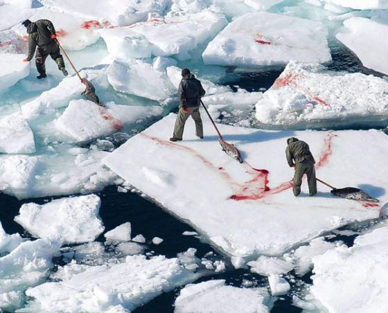 В Норвегии перестали убивать тюленей