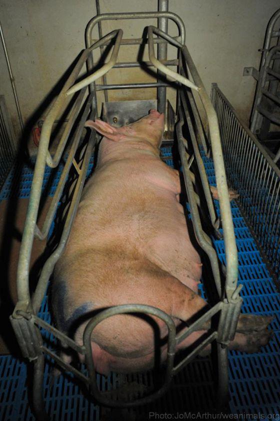 Взаперти: животноводческие клетки