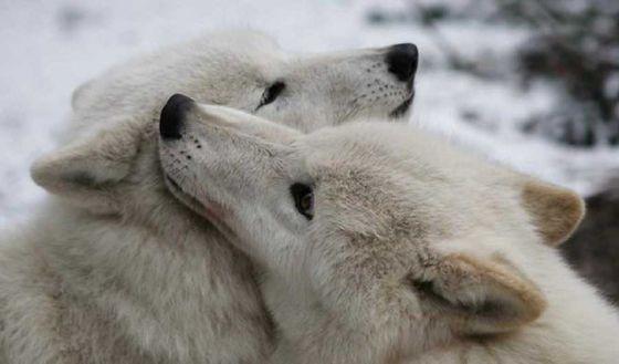 Влюблённые животные: трогательные фото
