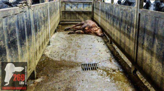 Активисты 269Life во Франции  вторглись на четвёртую скотобойню Charal Metz