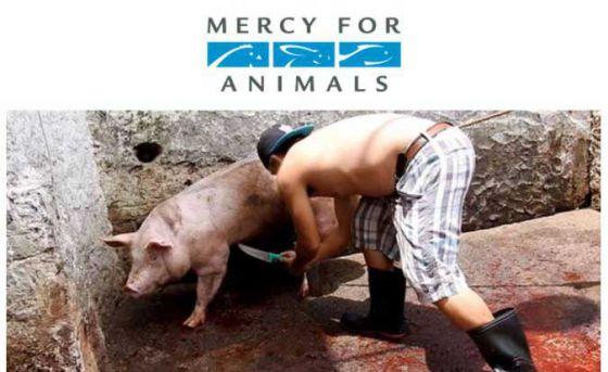 Шокирующие кадры расследования Mercy For Animals со скотобоен Мексики
