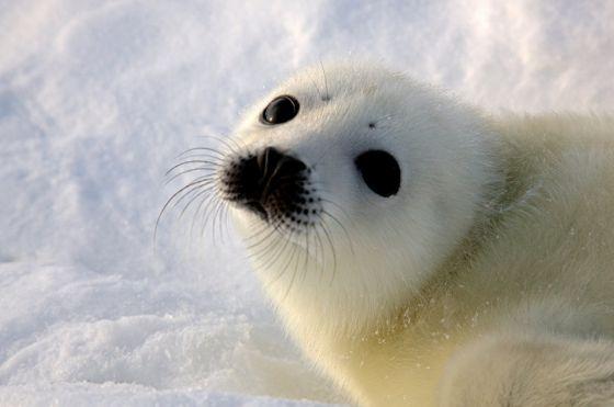 Швейцария запретила импорт продуктов из тюленей