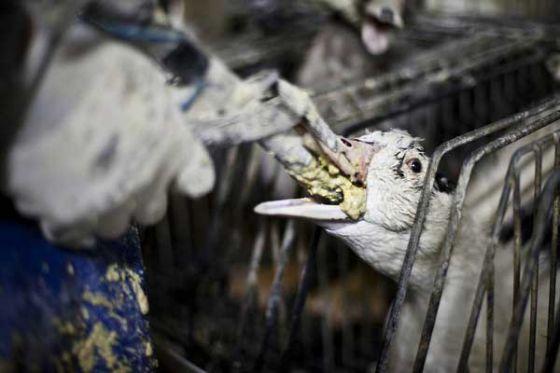 В Калифорнии  вновь наложили  запрет на продажу фуа-гра