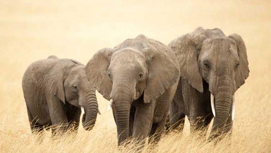 Нью-Йорк запретил использование слонов в цирках