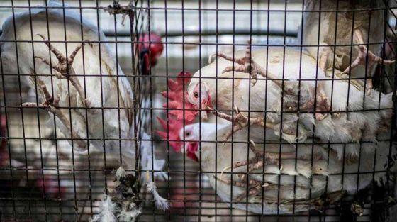 Nestlé откажется от яиц кур, содержащихся в клетках