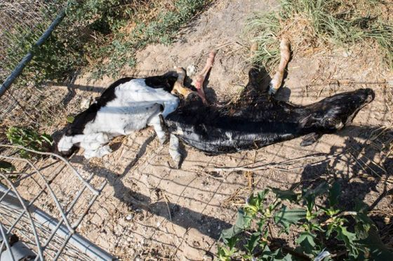 Активисты «Прозрачных стен» Израиля побывали на молочной ферме Зиким