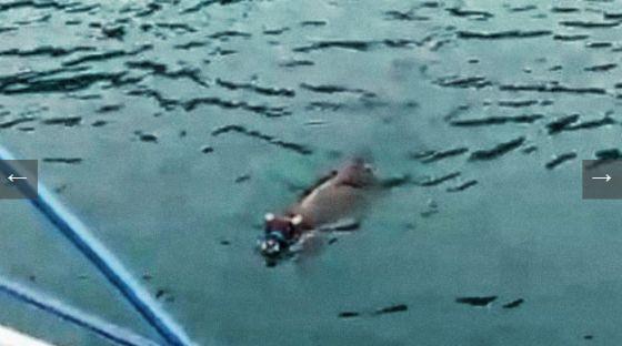 Турция: бык  плыл три дня, спасаясь бегством от жертвоприношения