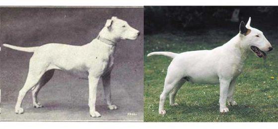К чему  за 100 лет  привели  «улучшения» породистых собак (фото)
