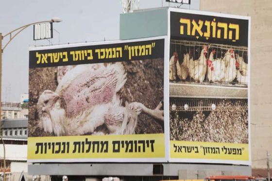 Активисты  «Прозрачных стен» Израиля  вывесили новые громадные плакаты о  жестокости куриной индустрии