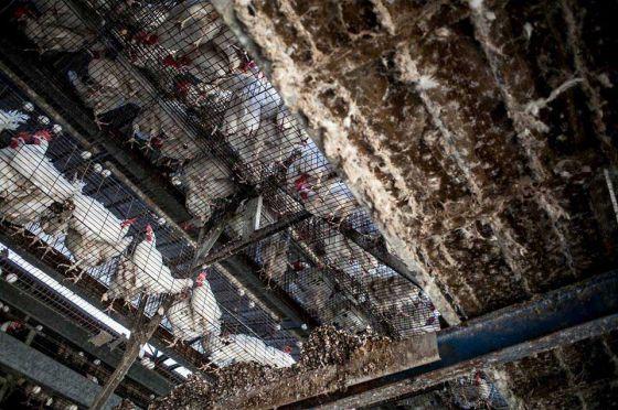 Видео  рэпера-вегана  Стоми Багси, снятое на птицефабрике, набрало миллионы просмотров