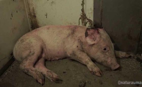 Активисты поделились историей о несчастной свинке из популярного видео