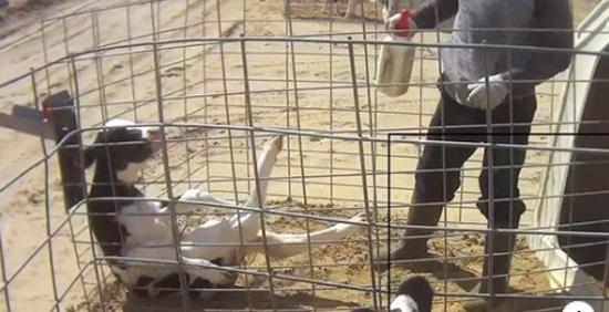 Обнародованы кадры тайного расследования на крупнейшей молочной ферме в США