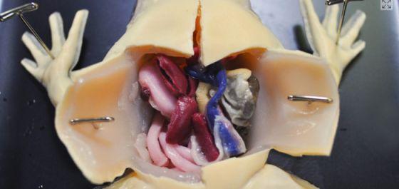 Гиперреалистичная модель лягушки заменяет использование животных в обучении